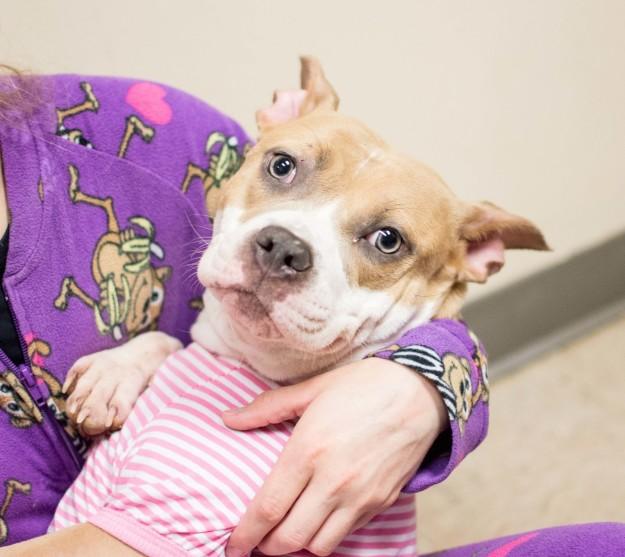 Perrito pitbulll recostado con su dueña mientras ambos usan pijama