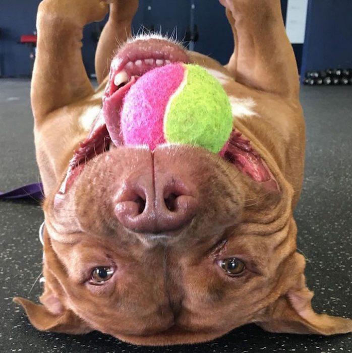 Pitbull jugando con una pelota.