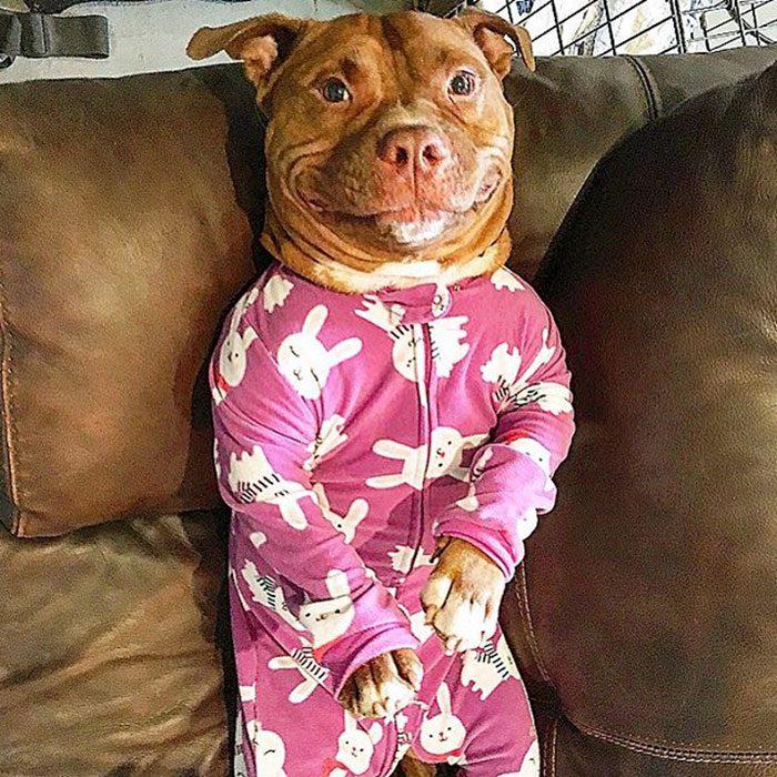 Pitbull con pijama sonriendo.