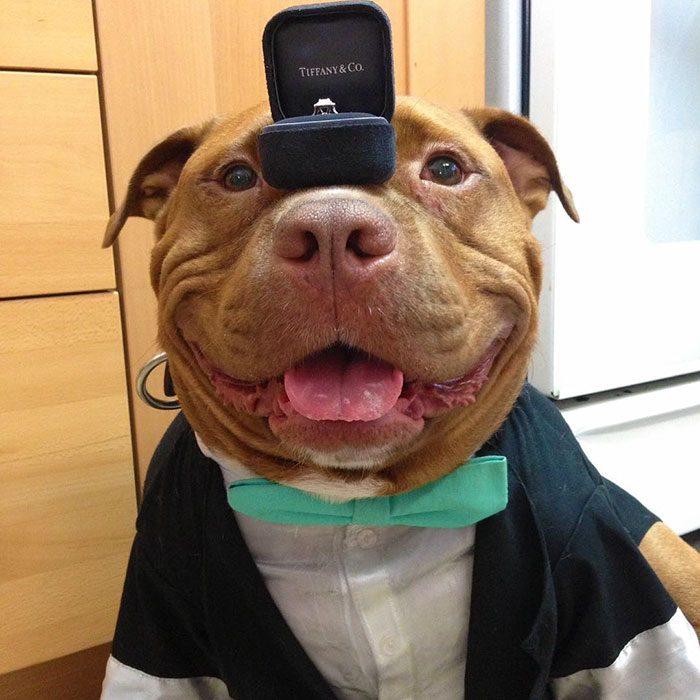 Pitbull vestido de traje y con un anillo en su nariz.