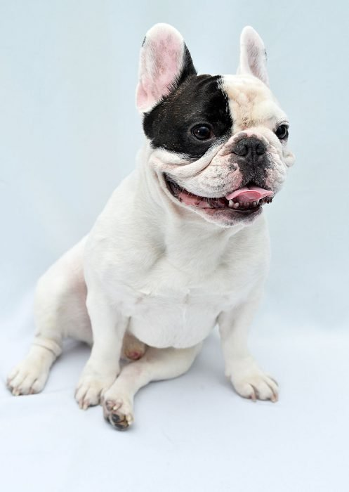 Bulldog francés sentado.