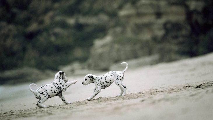 Dalmatas jugando en la playa.