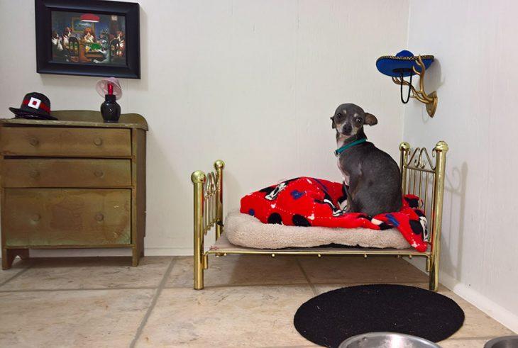 El perro chihuahua sentado en su cama.