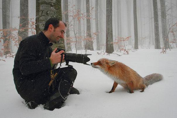 Photographer lens against fox