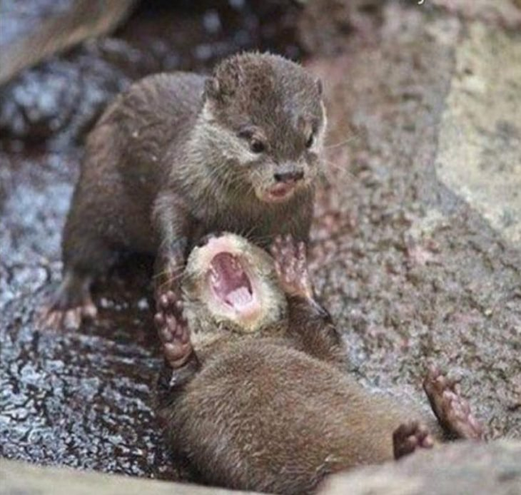 Foto de un animal abriendo la boca.