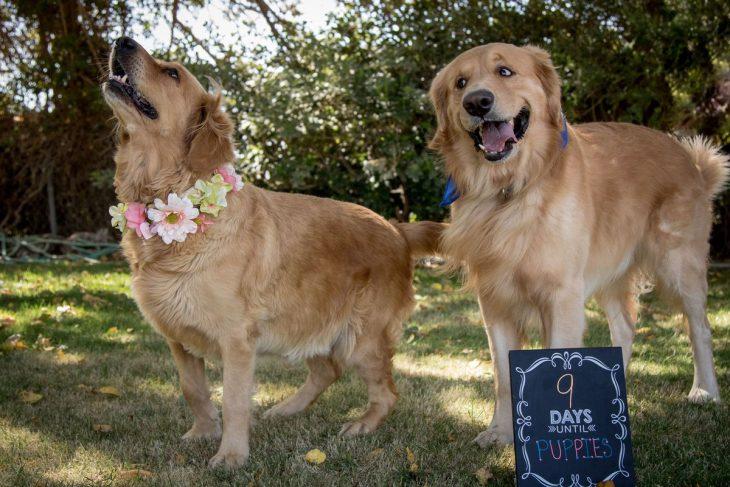 perros golden retrieven en sesión fotográfica