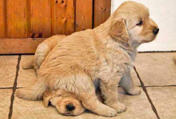 Foto de un perro arriba del otro.