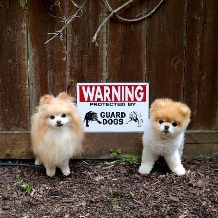 Perros guardianes protegiendo casa.