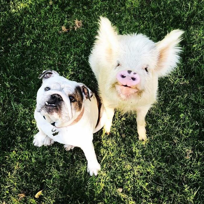 cerdo al lado de un perro