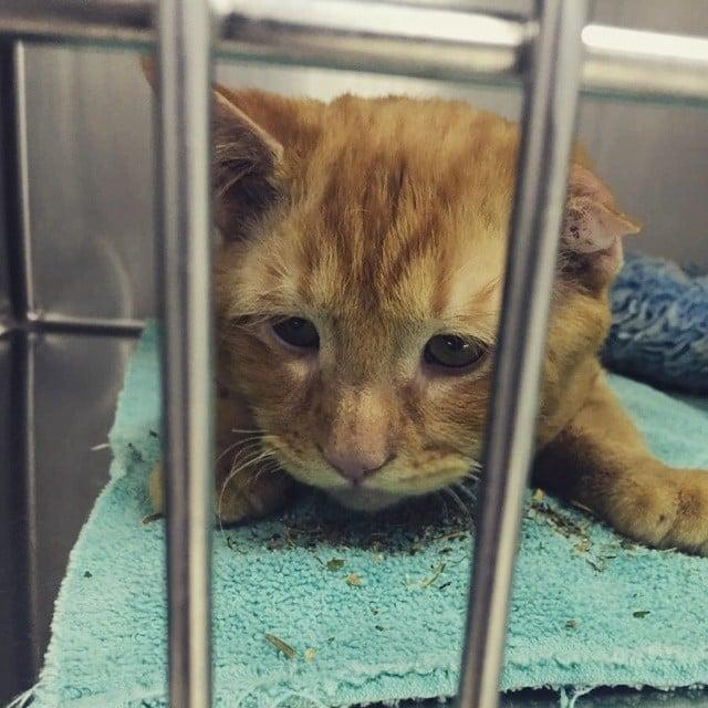 orange cat in a cage