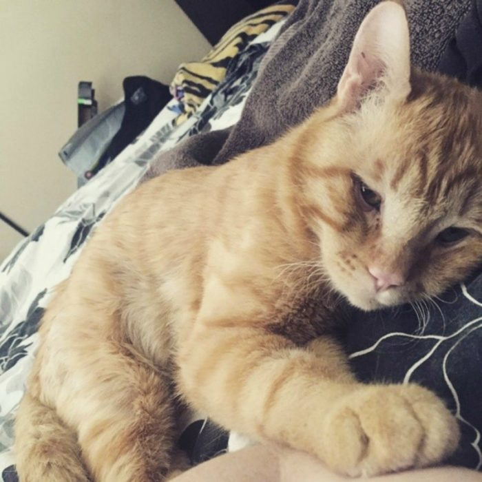 gato naranja acariciando a huamano