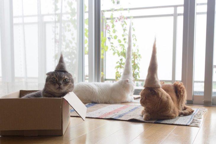 gatos de colores diferentes y hombreros