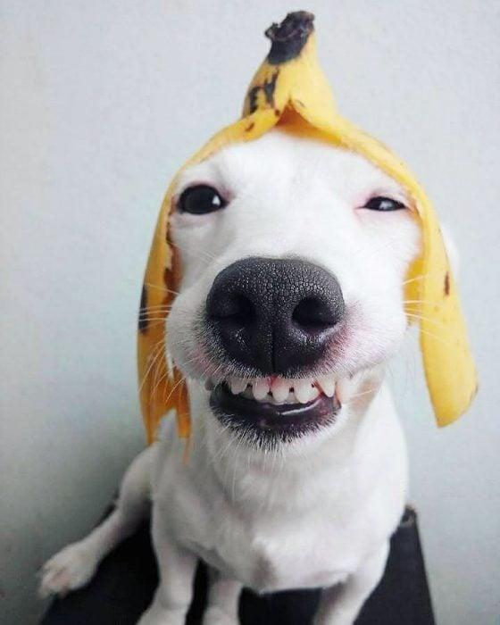 Perro con una cáscara de plátano en la cabeza.