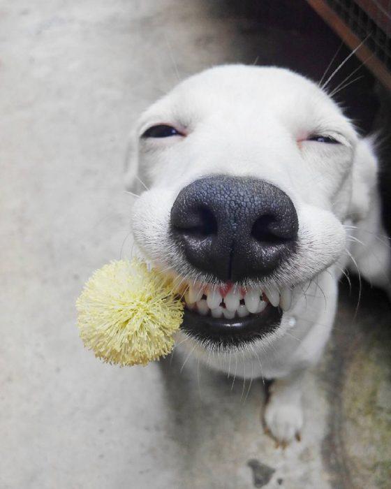 perro sonriendo con una bola de peluche en la boca.