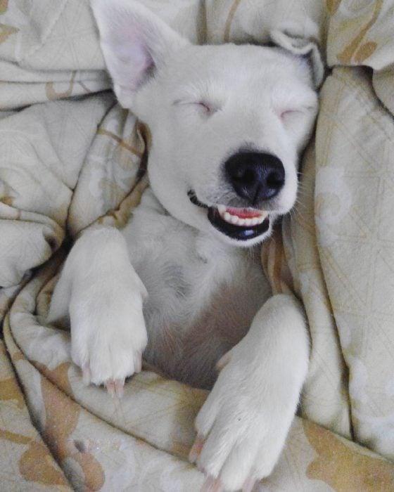 Perro acostado sonriendo.