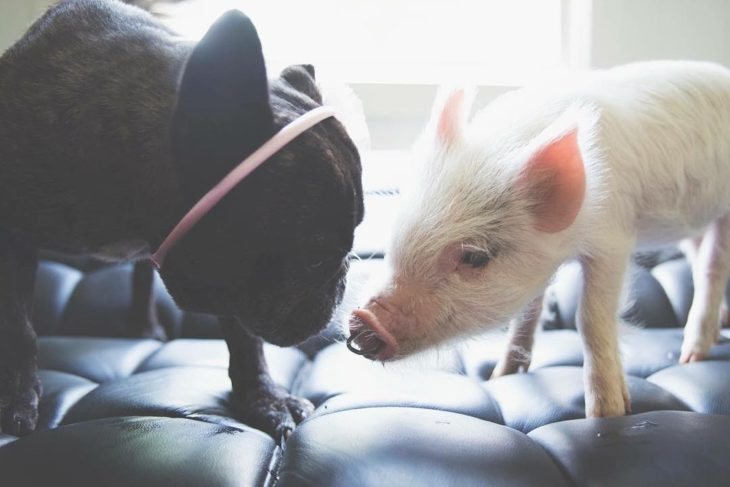 little pig next to a black dog
