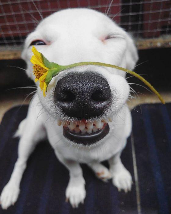 Perro sonriendo con una flor en el hocico.