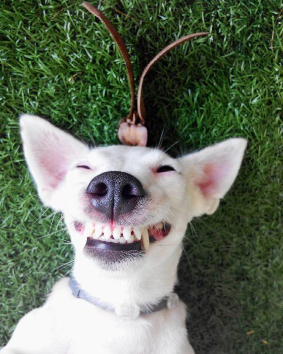 perro acostado boca arriba sonriendo.