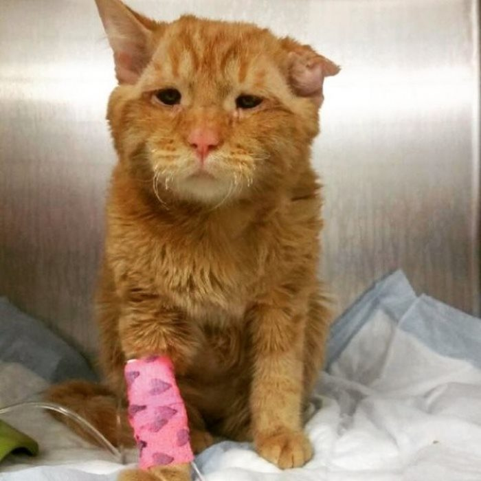 gato naranja con venda rosa