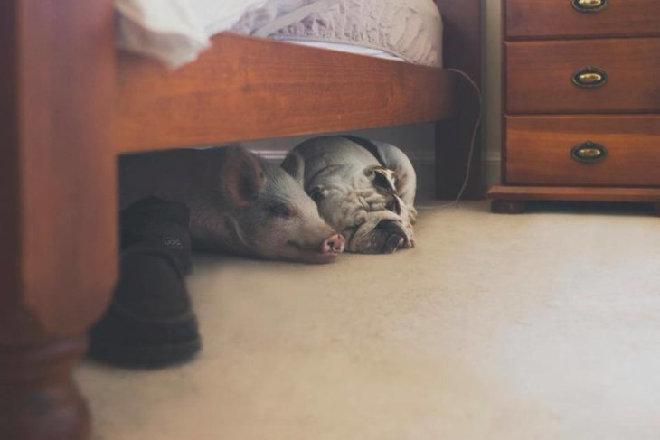 dog and pig lying under the bed