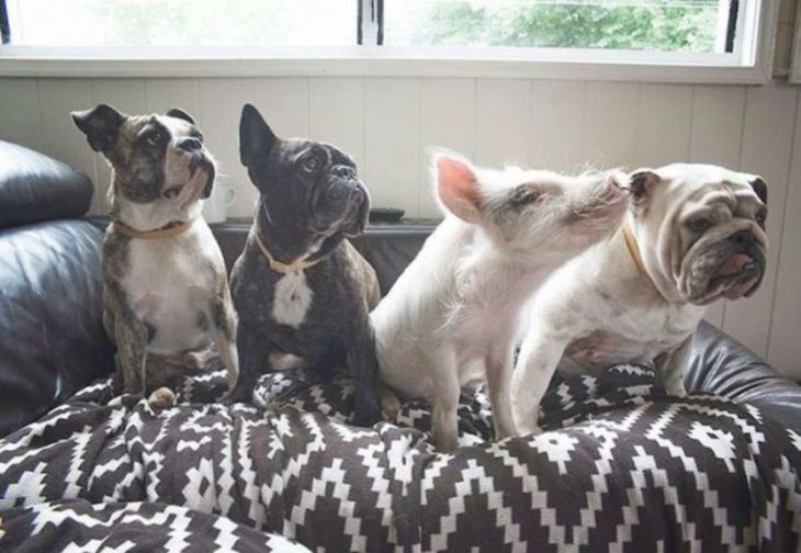 dogs and a pig sitting n an armchair