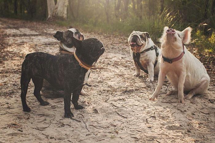 cerdo al lado de tres perros