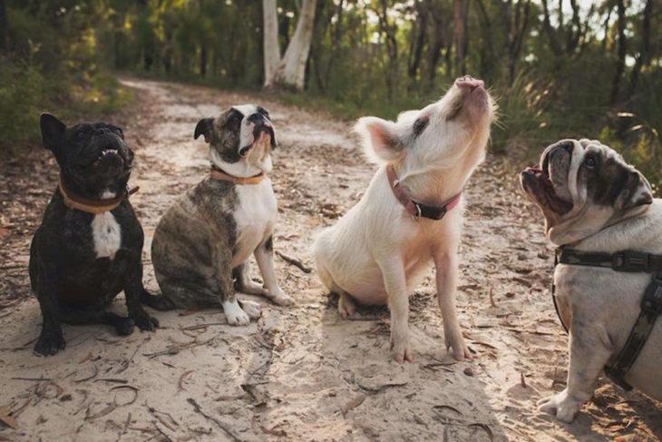 cerdito next three dogs