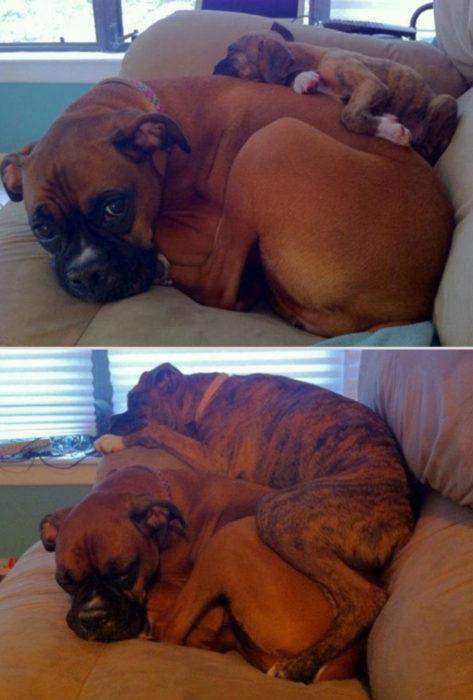 perros dormidos antes y después