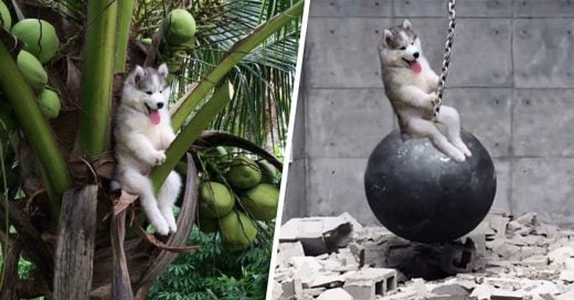 Un lindo cachorro Husky quedó atrapado en una palmera y se volvió protagonista en batalla de Photoshop