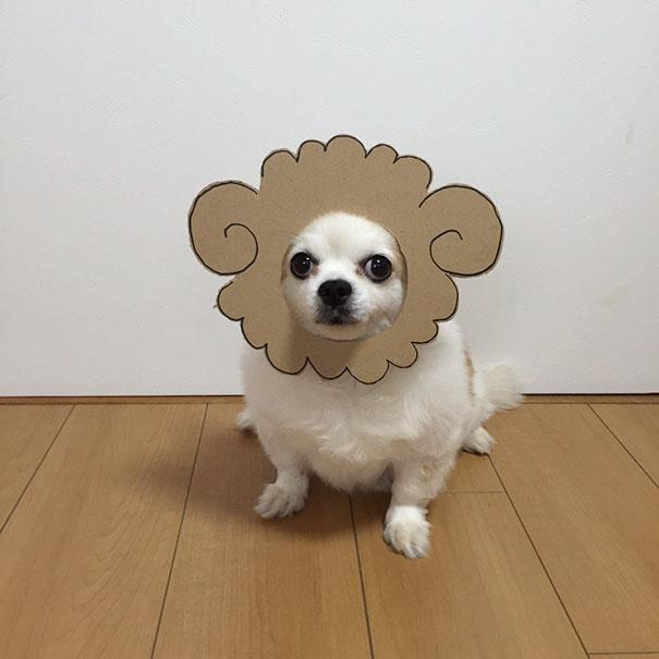 Perro chihuahua con una mascara de cartón en forma de chivo