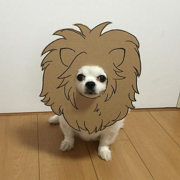 Perro chihuahua con una mascara de cartón en forma de león