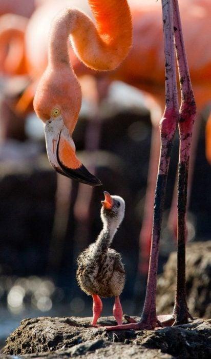 Un flamingo con su retoño.