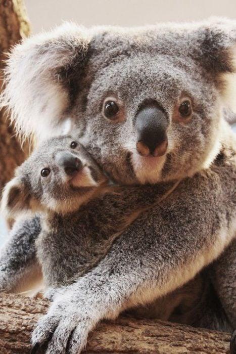 Koala mamá e hija.