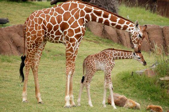 Jirafa mamá dándole un beso a una jirafita.