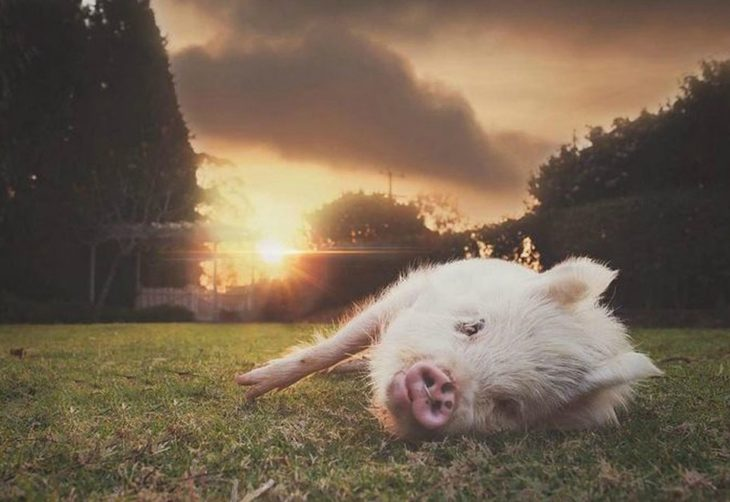 pig lying on the grass