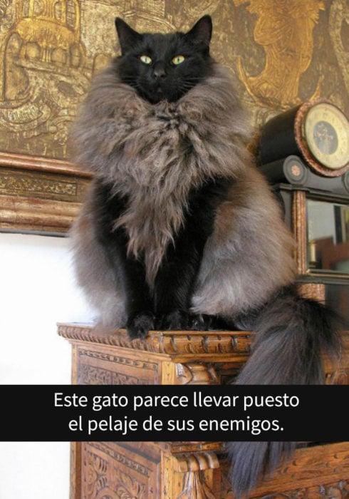 gato enorme
