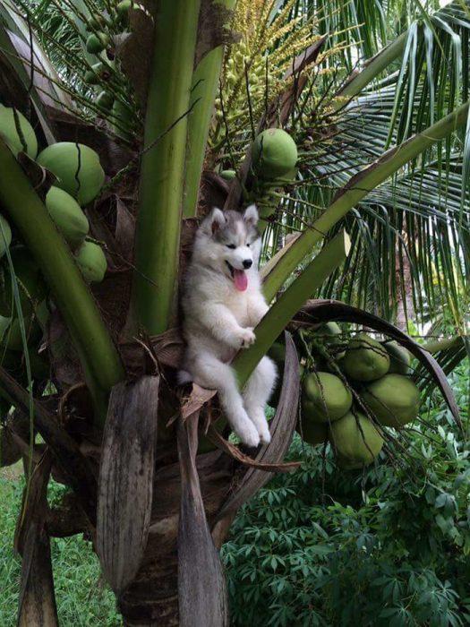 perro husky arriba de palmera de cocos