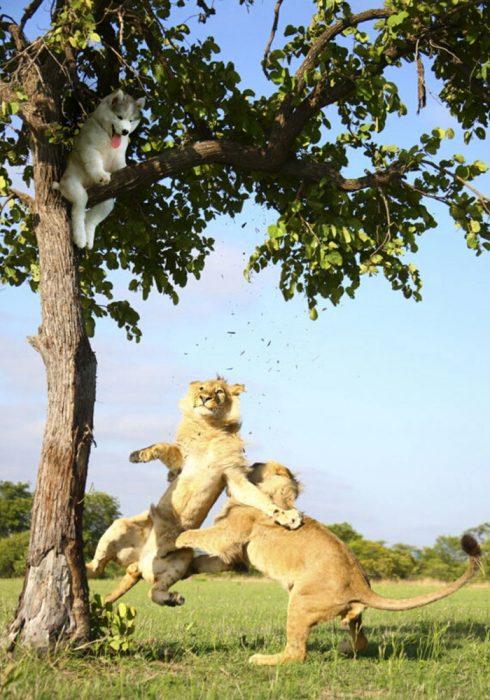 perro en un arbol y leones peleando