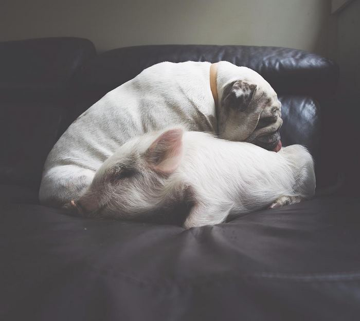 Piglet next to a puppy on the couch