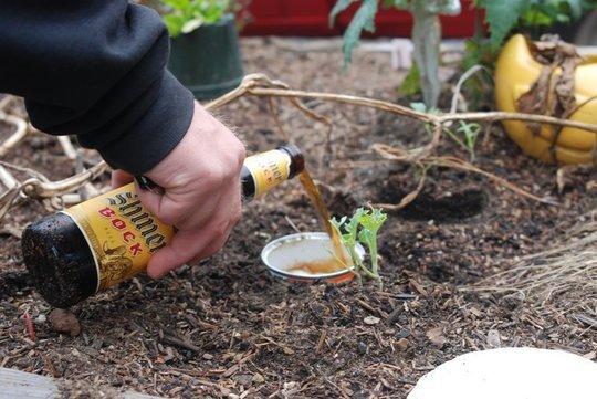 Verter cerveza en un recipiente en el jardín para eliminar a los insectos