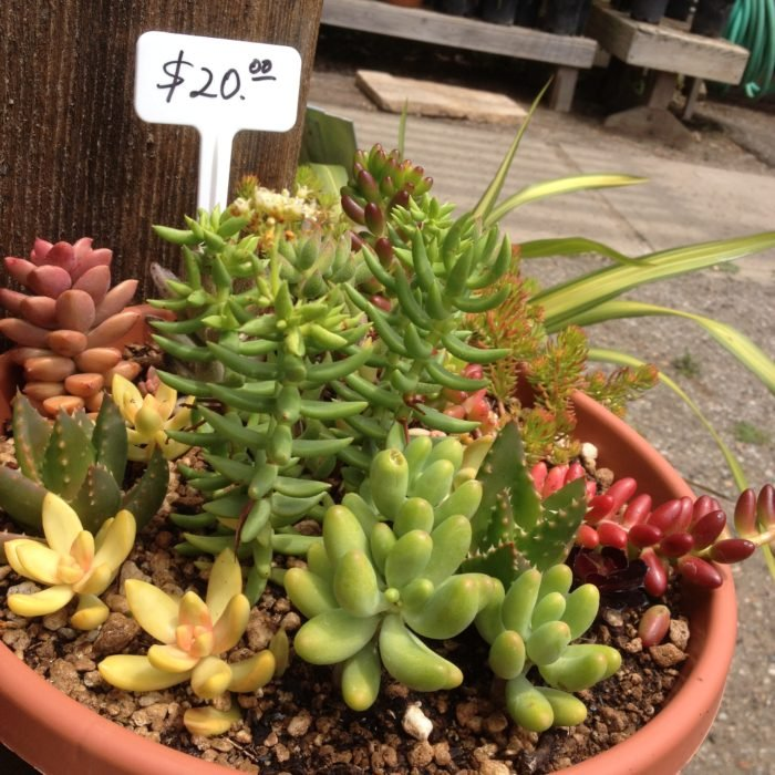 plantas succulents a la venta