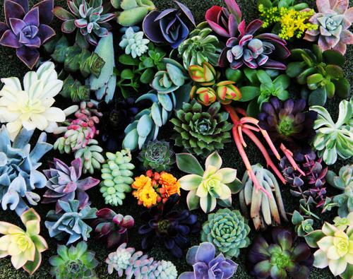 plantas succulents diferentes colores