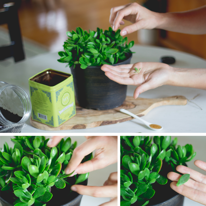 reproduciendo plantas succulents
