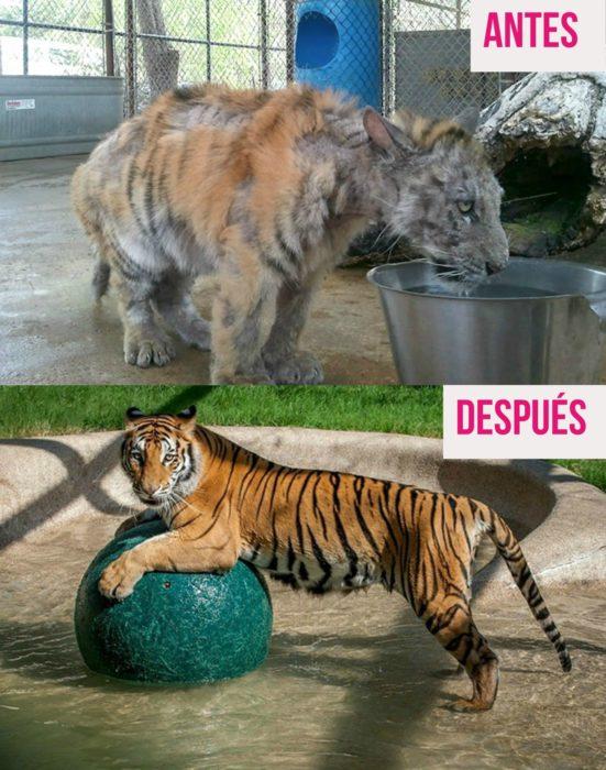 tigre desnutrido y jugando con pelota