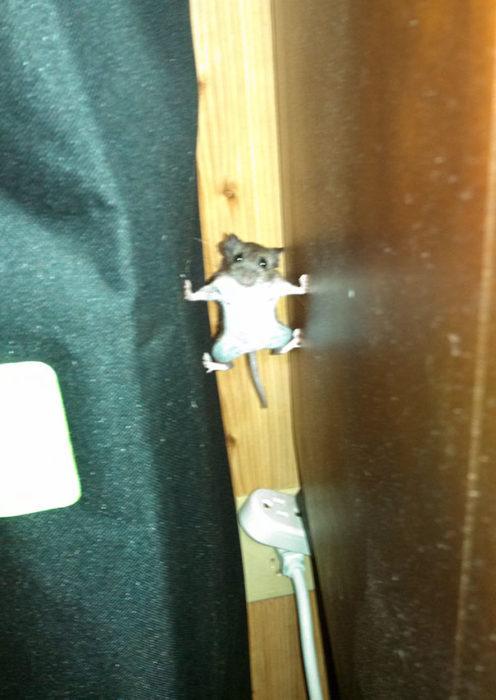 Ratón en una pose de misión imposible