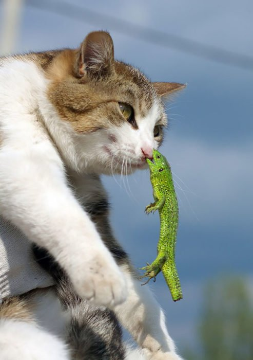 Lagartija mordiendo la nariz de un gato