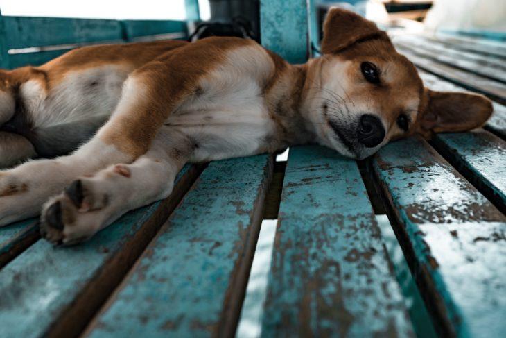 perro recostado en el cobertizo