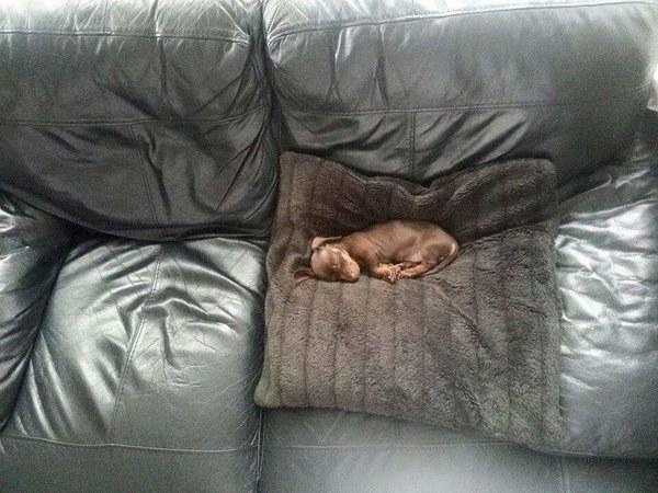 perro dormido en el sofa