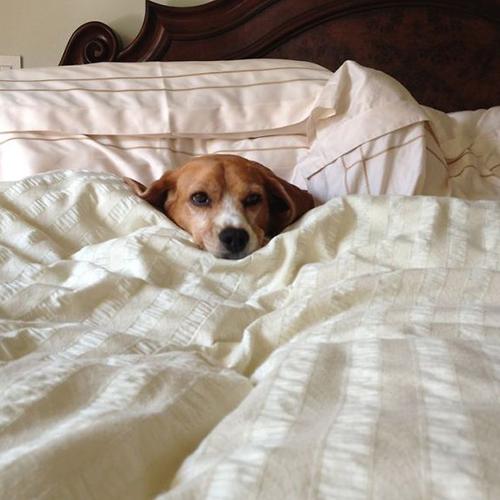 perro bajo las cobijas en la cama