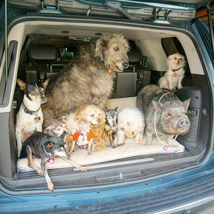 Animales en la cajuela de un carro